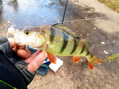 Eurasian perch